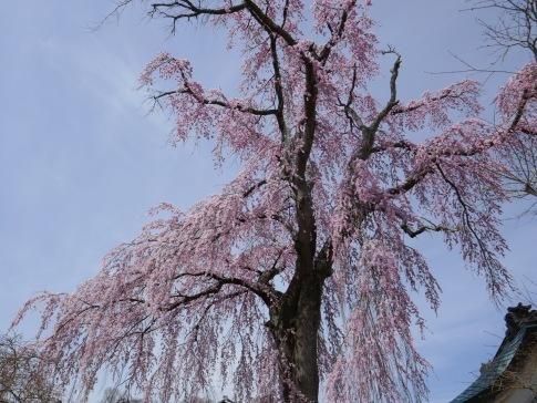 法華寺の桜3.jpg