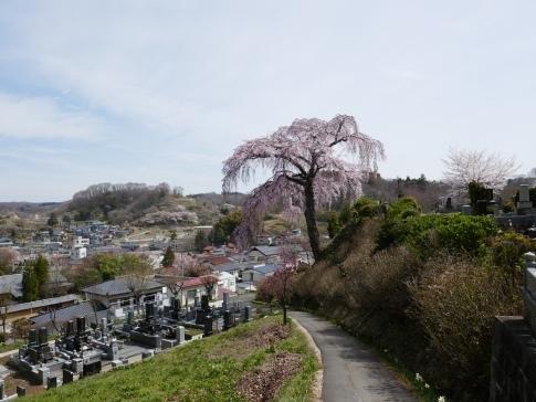 法蔵寺桜2.jpg