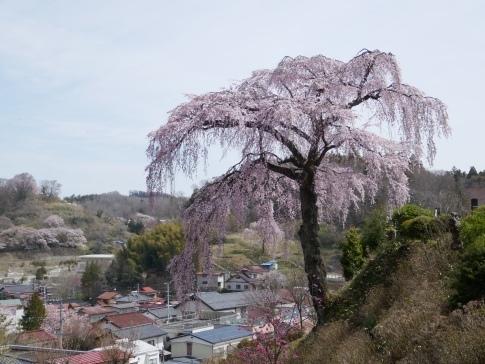 法蔵寺桜3.jpg