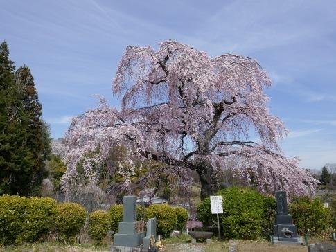 法蔵寺桜4.jpg
