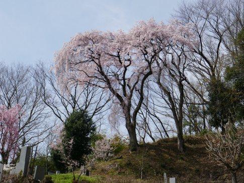 法蔵寺桜7.jpg