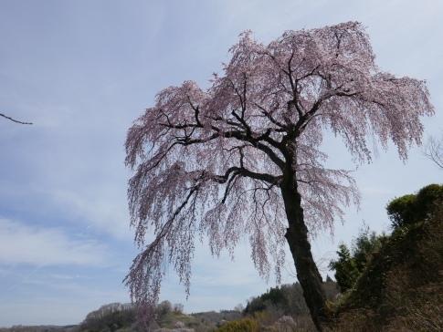 法蔵寺桜1.jpg