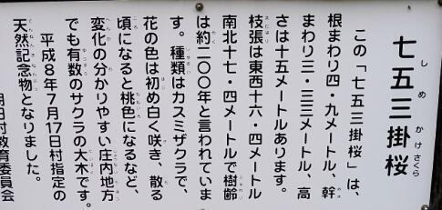 注連寺の七五三掛桜5.jpg