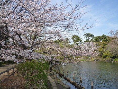 洗足池の桜.jpg