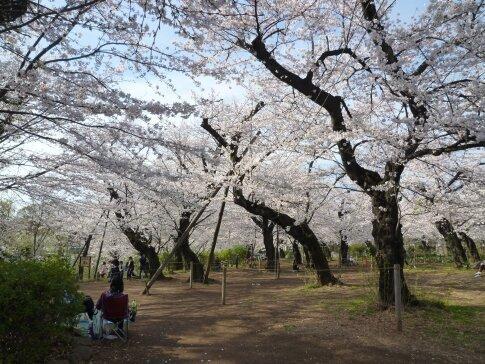 洗足池の桜3.jpg