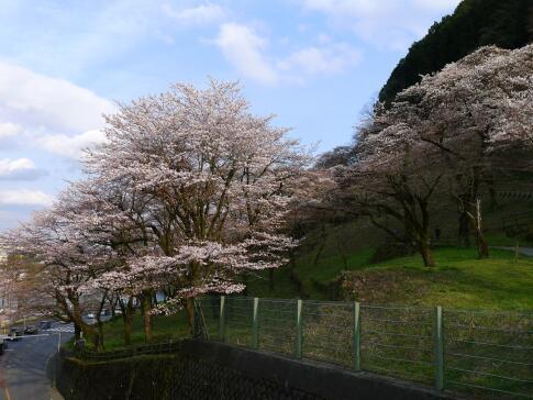 津久井湖の桜2.jpg