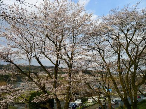津久井湖の桜3.jpg