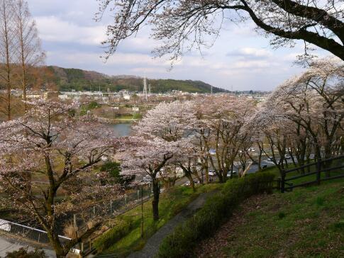 津久井湖の桜4.jpg
