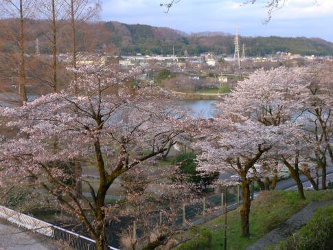 津久井湖の桜5.jpg