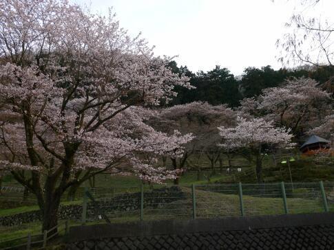 津久井湖の桜6.jpg