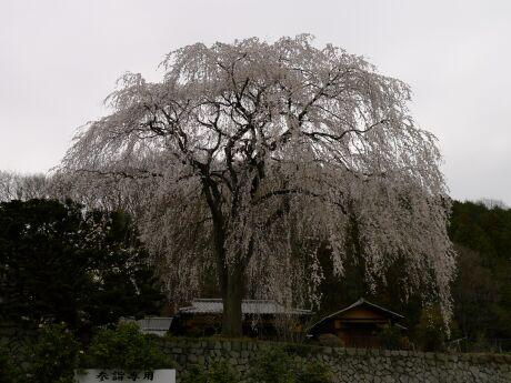 浄福寺の桜1.jpg