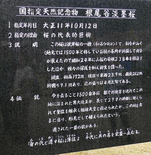 淡墨桜3.jpg