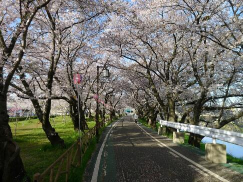 清洲城前の桜2.jpg