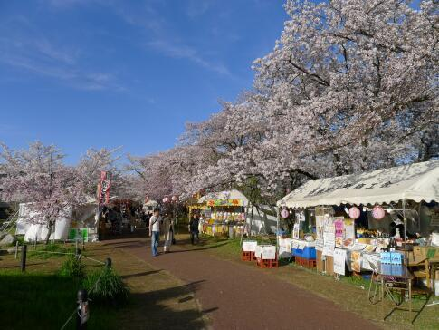 清洲城前の桜4.jpg