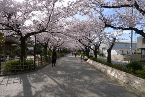 清洲城前の桜5.jpg
