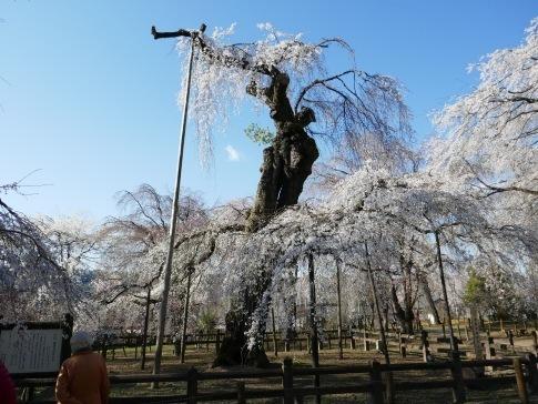 清雲寺の桜2.jpg