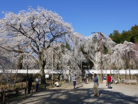 清雲寺の桜3.jpg