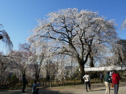 清雲寺の桜4.jpg