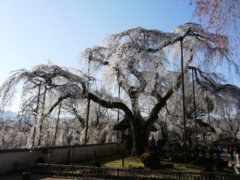 清雲寺の桜9.jpg