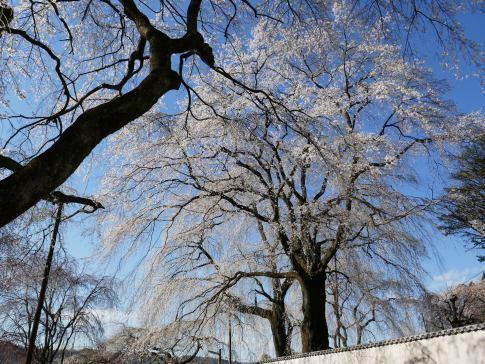 清雲寺の桜9b.jpg