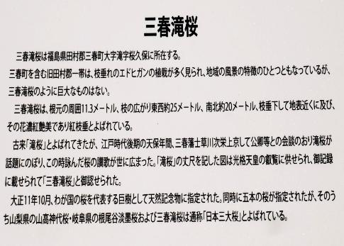 滝桜3.jpg