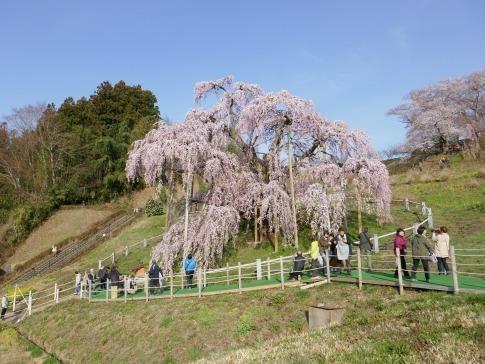 滝桜4.jpg