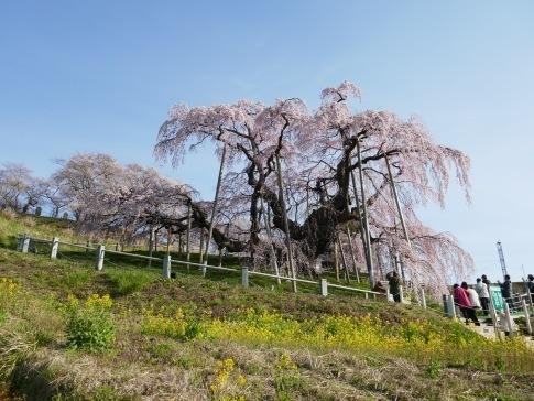 滝桜7.jpg