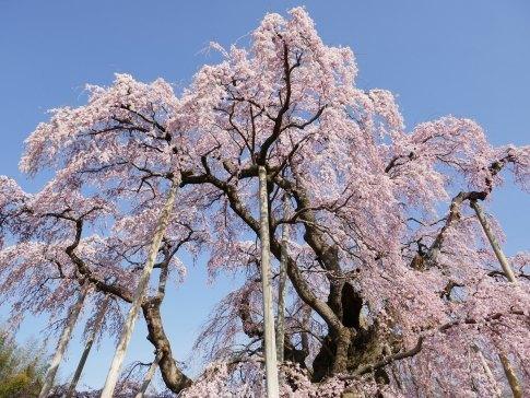 滝桜8.jpg
