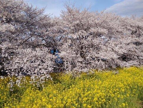 熊谷桜堤201704.jpg