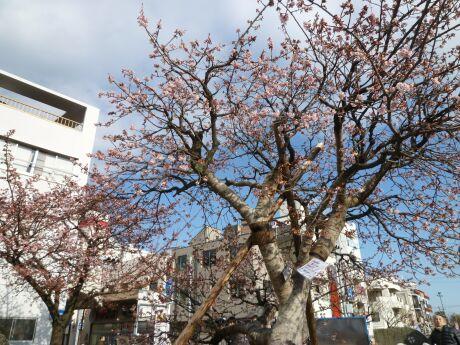熱海桜4.jpg