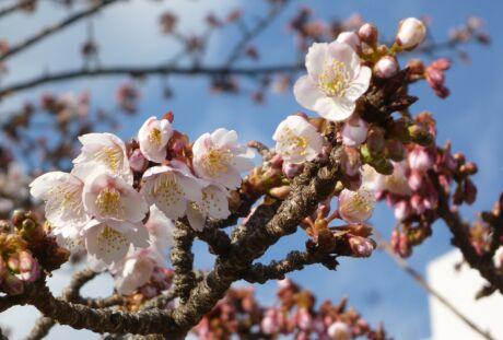 熱海桜5.jpg