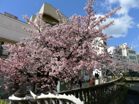 熱海桜201302.jpg