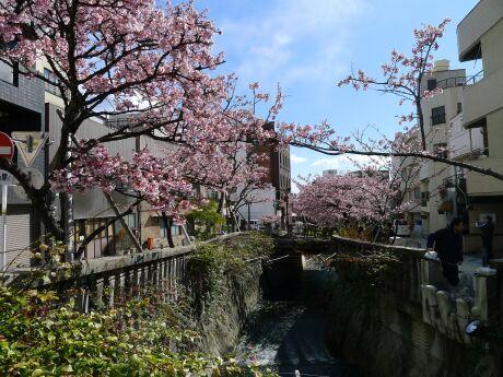 熱海桜201301.jpg