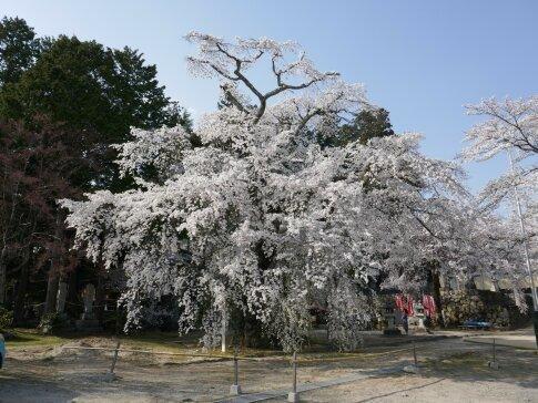 瑠璃寺の枝垂れ桜2.jpg