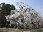 瑠璃寺の枝垂れ桜 大.jpg