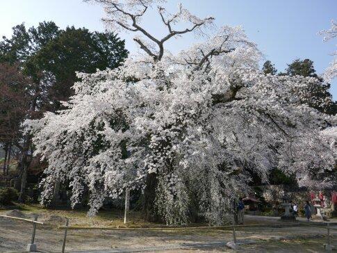 瑠璃寺の枝垂れ桜3.jpg