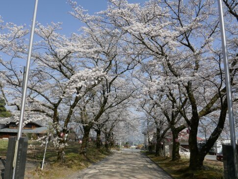 瑠璃寺の桜2.jpg