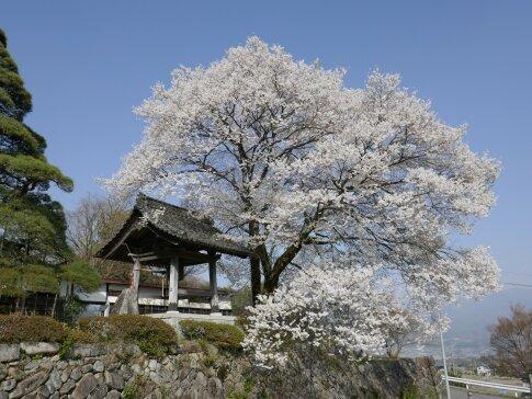 瑠璃寺の江戸彼岸桜.jpg
