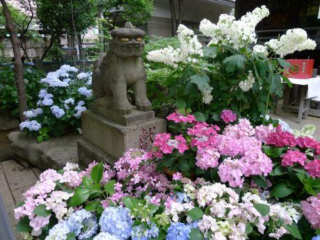 白山神社 アジサイ 201303.jpg