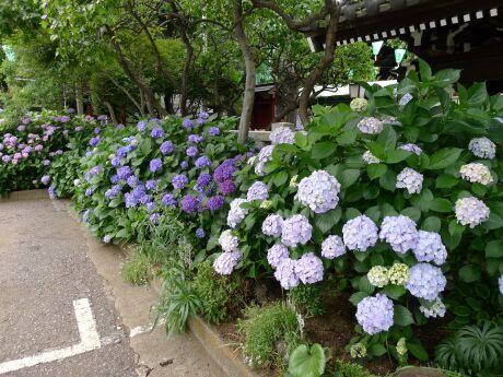 白山神社 アジサイ 201301.jpg
