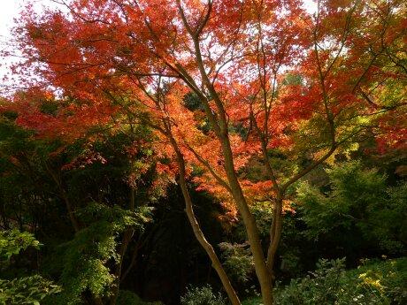 白野江植物公園 紅葉6.jpg