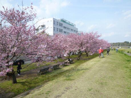 白鵬大学前の思川桜3.jpg