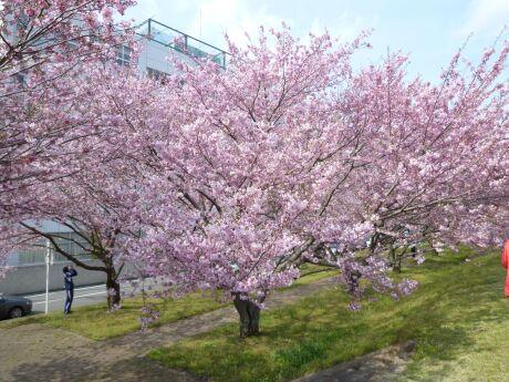 白鵬大学前の思川桜4.jpg