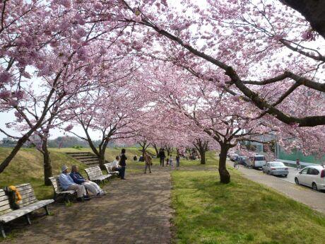 白鵬大学前の思川桜1.jpg
