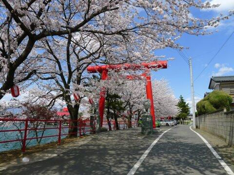 白龍神社の桜2.jpg