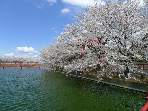 白龍神社の桜3.jpg