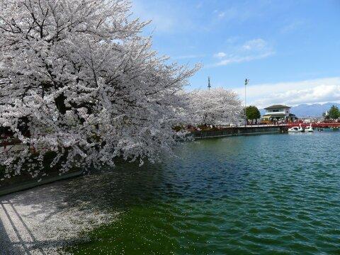 白龍神社の桜4.jpg