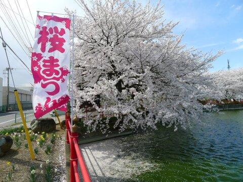 白龍神社の桜5.jpg