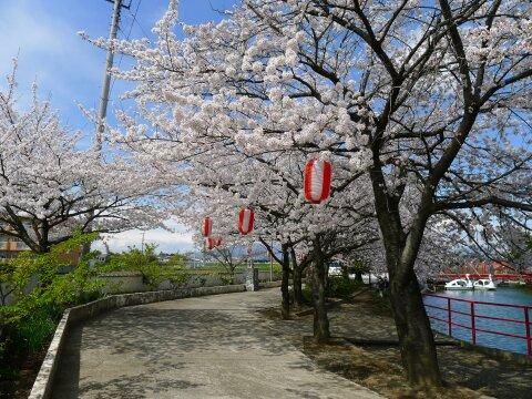 白龍神社の桜6.jpg