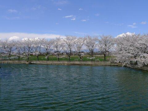 白龍神社の桜7.jpg